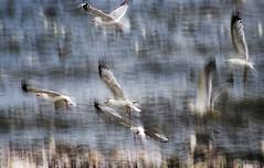 Gull in flight (Gill Stafford) Tags: gillstafford gillys image photograph wales northwales conwy bird gull flight f ying takeoff beach sea llanddulas welsh coastalpath cyclepath young juvenile herring impressionisy impressionism