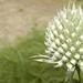 teasel flowering head, maybe