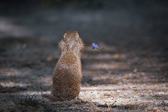 When a beautiful day comes to an end! European ground squirrel photographed in Austria, Burgenland (hardy-gjK) Tags: animal mammal tier ground squirrel austria österreich blume flower hardy natur nature wildlife nikon ziesel