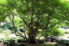 Supporting green with a thousand hands (Abhay Parvate) Tags: nature green tree branches pattern garden japanese