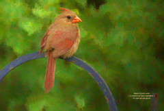 Northern Cardinal (NancySmith133) Tags: northerncardinal backyardbirds centralfloridausa coth coth5