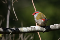 Red-browed Finch (petefeats) Tags: australia birds brisbane estrildidae nature neochmiatemporalis oxleycommon passeriformes queensland redbrowedfinch