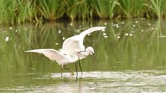 Squabbling Egrets, Dinton Pastures (rq uk) Tags: rquk nikon d750 dintonpastures bitternhide juvenile nikond750 tamronspaf150600mmf563divcusd squabbling littleegret