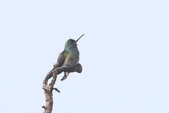 Charming Hummingbird - Amazilia decora - Naranjito,, Puntarenas, Costa Rica - June 20, 2019 (mango verde) Tags: charminghummingbird amaziliadecora trochilidae hummingbirds amazilia decora hummingbird bird naranjito puntarenas costarica mangoverde