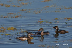 Pied-billed Grebes 1 (mjcarsonphoto) Tags: howardmarsh wildlife piedbilledgrebe