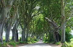 The Dark Hedges (nisudapi) Tags: 2019 ireland northernireland ulster antrim darkhedges kingsroad gameofthrones trees wood lane hedge