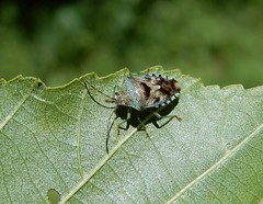 Elasmucha grisea (rockwolf) Tags: acanthosomatidae punaise parentbug hemiptera heteroptera insect maisonduparc nocé parcduperche orne france 2019 rockwolf