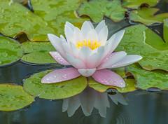 Pond Lily. (Omygodtom) Tags: composition contrast colours tannersprings trail usgs pond flower flora leica d7100 nikon70300mmvrlens art green leaves