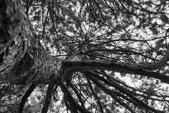 Coronation Pine #3 (KWPashuk (Thanks for >3M views)) Tags: sony alpha a6000 1650mm lightroom luminar luminar2018 luminar3 luminar31 kwpashuk kevinpashuk tree white pine nature park coronationpark coronation oakville ontario canada outdoors monochrome mono