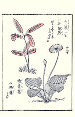 Veitch's bamboo and alpine leek (Japanese Flower and Bird Art) Tags: flower veitch's bamboo sasa veitchii poaceae alpine leek allium victorialis liliaceae kosa urakawa ukiyo woodblock picture book japan japanese art readercollection
