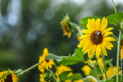 Sunflowers! (Snapping Beauty) Tags: seasons honeybee vibrantcolor natural landscape flowers summer nature scenery naturewildlife colors insects sunflower yellow beautyinnature bumblebee