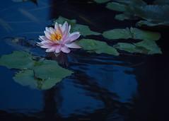 P1091758_LR (enno7898) Tags: panasonic lumix lumixg9 dcg9 xvario 35100mm f28 plants flower