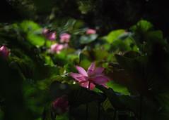 P1091663_LR (enno7898) Tags: panasonic lumix lumixg9 dcg9 xvario 35100mm f28 plants flower