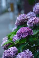花 (fumi*23) Tags: ilce7rm3 sony street bokeh a7r3 hydrangea plant flower 85mm fe85mmf18 sel85f18 emount 花 植物 紫陽花 osaka kyobashi