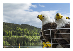 Nid d'aigles sur le lac de Titisee  ;-) (Francis =Photography=) Tags: germany aigles eagles nid animal forêt forest lacdetitisee titisee rundfahrt allemagne blackforest badewurtemberg seebach gutach titiseeneustadt deutschland europe europa water eau lake schwarzwald forêtnoire