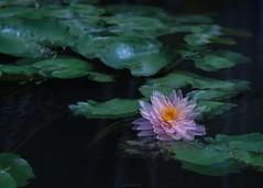P1091796_LR (enno7898) Tags: panasonic lumix lumixg9 dcg9 xvario 35100mm f28 plants flower