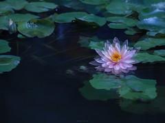 P1091782_LR (enno7898) Tags: panasonic lumix lumixg9 dcg9 xvario 35100mm f28 plants flower