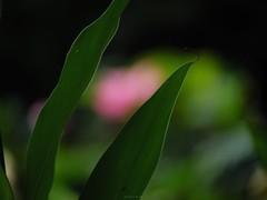P1091656_LR (enno7898) Tags: panasonic lumix lumixg9 dcg9 xvario 35100mm f28 plants leaves