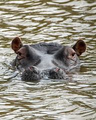 Hippo Portrait (J-F No) Tags: hippo animals nature wildlife fauna south africa sony tamron safari