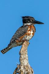 Giant Kingfisher (J-F No) Tags: kingfisher giant birds bird oiseaux aves animals fauna wildlife nature safari south africa sibuya sony tamron