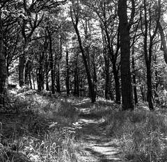 Woodland Wanderings (Richie Rue) Tags: woods woodland intimatelandscape path trees nature naturereserve halifax yorkshire blackandwhite monochrome bnw bw film analogue foma fomafomapan200 120 mediumformat squareformat 6x6 ishootfilm istillshootfilm filmsnotdead outdoors northern mindfulphotography contemplativephotography