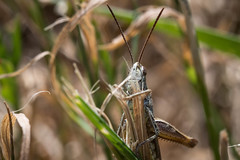 Bush cricket - Tettigoniidae (Adrià Páez) Tags: bush cricket tettigoniidae orthoptera ensifera insect bug nature grass macro 60mm canon eos 7d mark ii animal