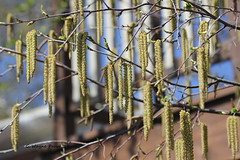 White Birch (Betula papyrifera) Catkins (Gerald (Wayne) Prout) Tags: ontario canada digital canon eos dslr catkins northernontario prout whitebirch betulapapyrifera 60d northeasternontario canoneos60d gillieslakeconservationarea cityoftimmins geraldwayneprout camera city lens photography conservation area photographed northern timmins northeastern gillieslake ef70300mmf456isusm canonlensef70300mmf456isusm white tree birch plantae betula papyrifera angiosperms paperbirch eudicots fagales rosids canoebirch trees plants plant nature deciduous