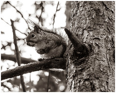 Grey Squirrel (nickyt739) Tags: grey squirrel wildlife wild animal planet nature natural england united kingdom great britain amateur photographer nikon d750 fx forest forestry woodland trees black white bw monochrome noir