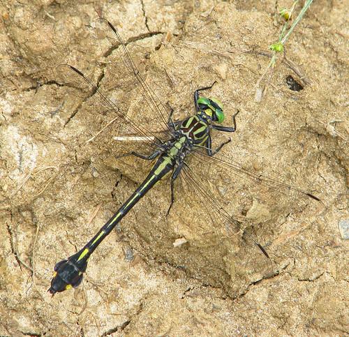 Blackwater clubtail, female (Gomphurus dilatatus)