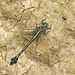 Blackwater clubtail, female (Gomphurus dilatatus)