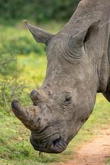 White Rhino Portrait (J-F No) Tags: rhino white animals fauna wildlife safari south africa sibuya sony tamron