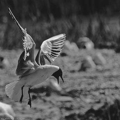 attention ..........!! j'arrive............ (thierrymuller) Tags: animal animals aves elpadrepicture thierrymuller photo photographie mamanano monochrome nikonpassion nikon nature noiretblanc bird blackwhite bw france frenchtouch d610nikon oiseau