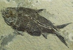 Fish fossil. Ooops...Forgot to feed the fish again! (phayes88) Tags: macromondays gonefishing fossil