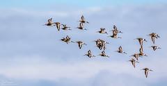 Incoming Black-tailed Godwits (Steve (Hooky) Waddingham) Tags: stevenwaddinghamphotography animal amble countryside coast bird british nature northumberland wild wildlife wader godwit flight tailed