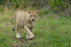 Curious Lioness (J-F No) Tags: lioness lion animals wildlife fauna nature safari south africa sibuya sony tamron feline