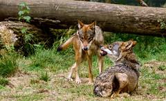... lass mich zufrieden ! ... (gabrieleskwar) Tags: anholt anholterschweiz biotopwildpark bäume baumstamm blätter wolf wolfsgehege wölfe tiere tier draussen gras gräser portrait zähne maul fell wolfsrudel niederrhein nrwgermany outdoor ohren nikonz6