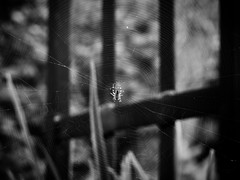 198/2019 (pepitaphotos) Tags: bw nature spider web spiderweb