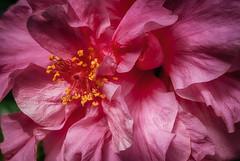 The pink texture. (Miguel Angel SGR) Tags: flowers flores detalles detail texture texturas color colorful nikon macro close up pink rosa