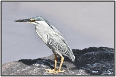 Striated Heron (Butorides striata) (Bamaprasad Dutta) Tags: striatedheron butoridesstriata herons heron birds wildlife nikon nature nikond7200 sigma150600