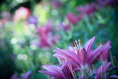 lilies (Yuki (8-ballmabelleamie)) Tags: cantignypark lily flower flora magenta bokeh colourful colorful flowerbed garden