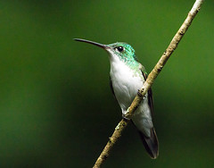 0P7A2340  Andean Emerald  Hummingbird, Ecuador (ashahmtl) Tags: andeanemerald bird hummingbird amaziliafranciae mindo pichinchaprovince ecuador