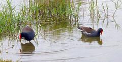 Common Moorhens (Gallinula chloropus); Fort Myers, Fl, Lakes Regional Park [Lou Feltz] (deserttoad) Tags: bird wildbird nature lake reflection waterfowl moorhen florida