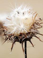 Thistle seed head (Nevrimski) Tags: thistle seed head plant
