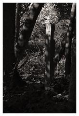 CO IV ([ Time - Beacon ]) Tags: nature tb bw blackandwhite blackwhite bnw monochrome lightshadow bark trunk tree trees clairobscure trunks treetrunk post pole