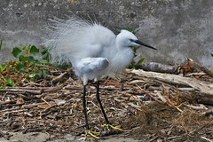 Aigrette garzette - Egretta garzetta - Little egret (pablo 2011) Tags: collectionnerlevivantautrement nikond500 nikkor200500mm toulouse garonne lebazacle espaceedfbazacle patrickblondel nature viesauvage wildlife occitanie france faune fauna animal oiseau bird ardéidés ardeidae aigrettegarzette egrettagarzetta littleegret