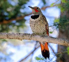 Northern Flicker -- Male (Colaptes chrysoides); Santa Fe National Forest, NM, Thompson Ridge [Lou Feltz] (deserttoad) Tags: nature newmexico bird wildbird songbird woodpecker aspen nest chicks tree flicker mountain