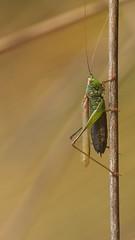 Grasshopper (visualstripes) Tags: grasshopper insect nature invertebrate macro 105mmmacro