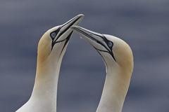 Gannet (JaneTurner68) Tags: gannet seabird bird greeting displaying trouphead aberdeen scottishhighlands scotland canon1dmkiv canon600mmf4lens canon
