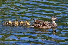 Mallard Ducklings (kevinwg) Tags: mallardducklings mallard duckling duck waterfowl water swimming