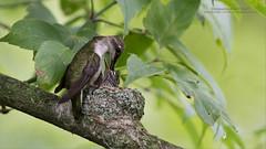Ruby-throated Hummingbird nest (Raymond J Barlow) Tags: hummingbird nest nature wildlife ontario canada raymondbarlow workshops